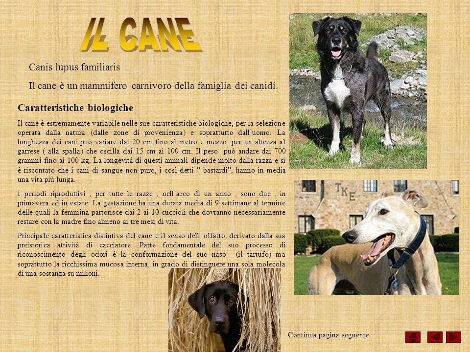 Canis lupus familiaris Il cane è un mammifero carnivoro della famiglia dei canidi. Caratteristiche biologiche Il cane è estremamente variabile nelle s