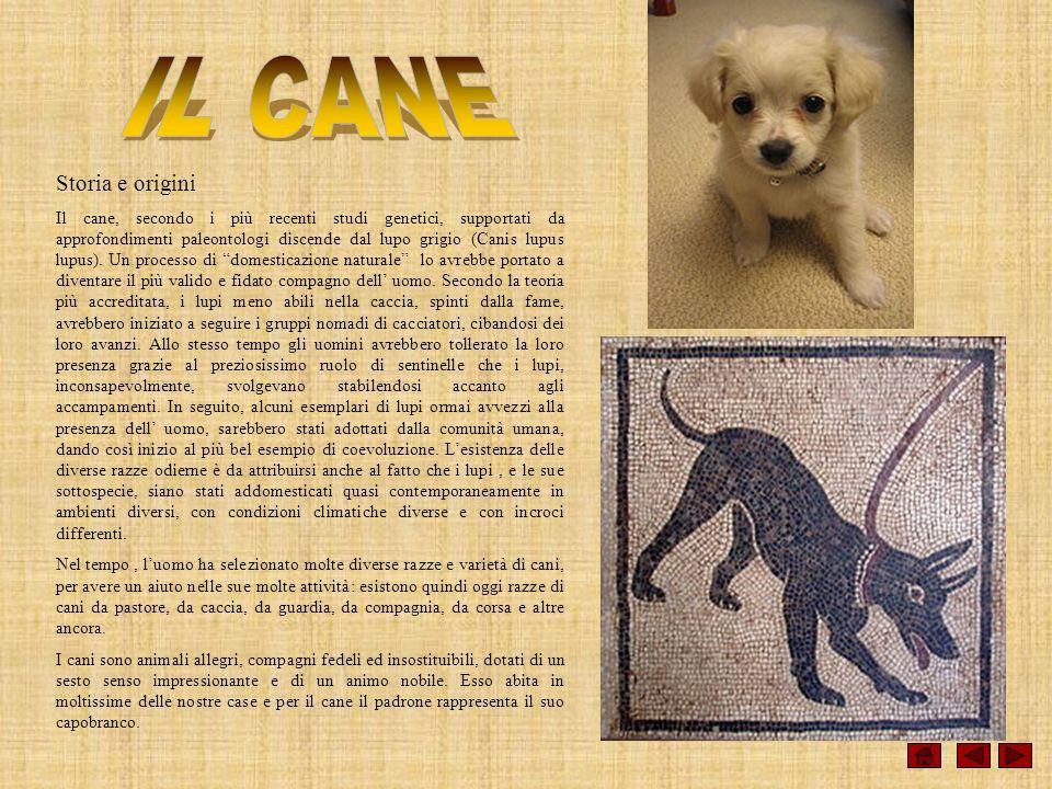Storia e origini Il cane, secondo i più recenti studi genetici, supportati da approfondimenti paleontologi discende dal lupo grigio (Canis lupus lupus