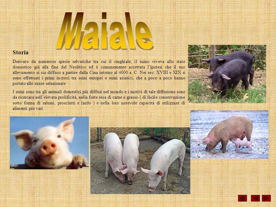 Storia Derivato da numerose specie selvatiche tra cui il cinghiale, il suino viveva allo stato domestico già alla fine del Neolitico ed è comunemente