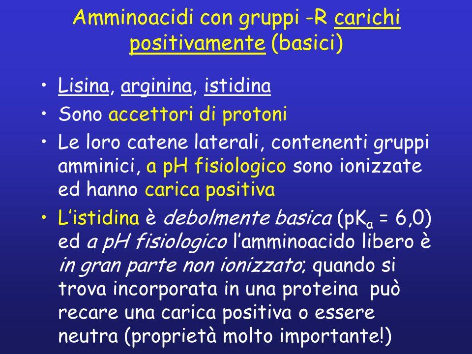 Amminoacidi con gruppi -R carichi positivamente (basici) Lisina, arginina, istidina Sono accettori di protoni Le loro catene laterali, contenenti grup