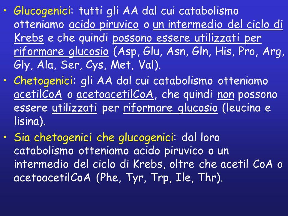 Glucogenici: tutti gli AA dal cui catabolismo otteniamo acido piruvico o un intermedio del ciclo di Krebs e che quindi possono essere utilizzati per r