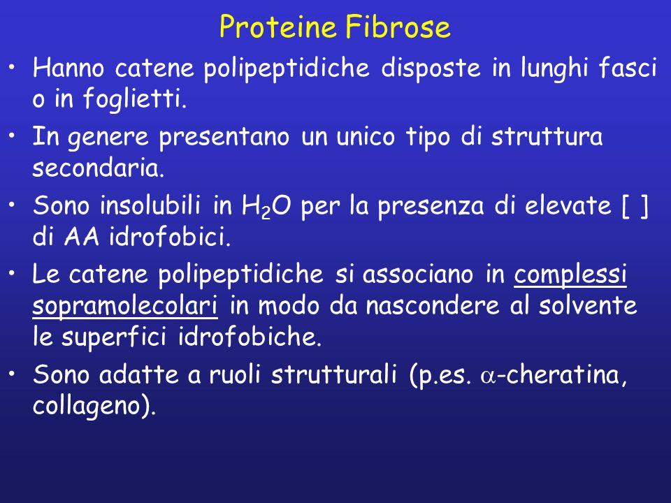 Proteine Fibrose Hanno catene polipeptidiche disposte in lunghi fasci o in foglietti. In genere presentano un unico tipo di struttura secondaria. Sono