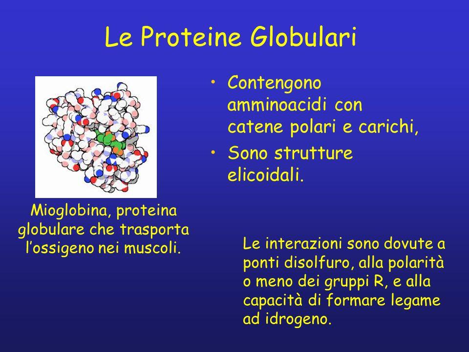 Le Proteine Globulari Contengono amminoacidi con catene polari e carichi, Sono strutture elicoidali. Mioglobina, proteina globulare che trasporta loss