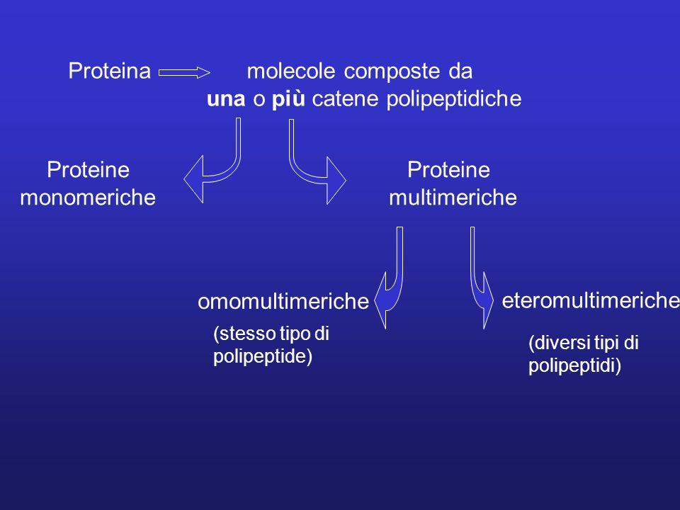 Proteinamolecole composte da una o più catene polipeptidiche Proteine monomeriche Proteine multimeriche omomultimeriche eteromultimeriche (stesso tipo