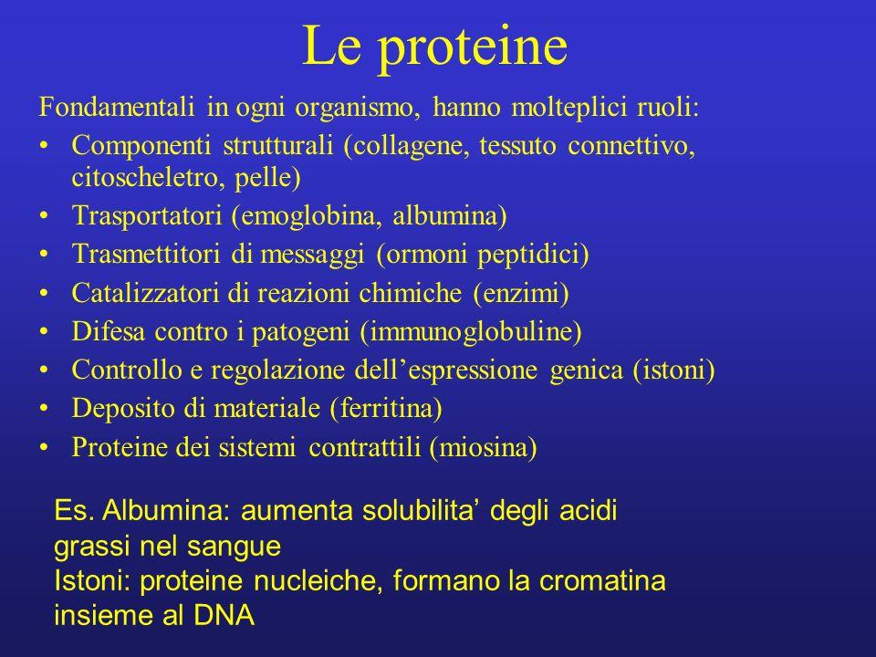 Le proteine Fondamentali in ogni organismo, hanno molteplici ruoli: Componenti strutturali (collagene, tessuto connettivo, citoscheletro, pelle) Trasp