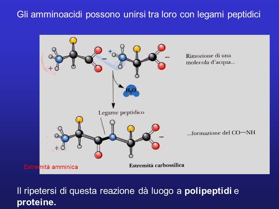 Gli amminoacidi possono unirsi tra loro con legami peptidici Il ripetersi di questa reazione dà luogo a polipeptidi e proteine. Estremità amminica