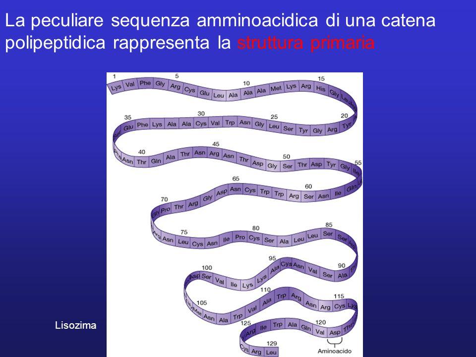 La peculiare sequenza amminoacidica di una catena polipeptidica rappresenta la struttura primaria Lisozima