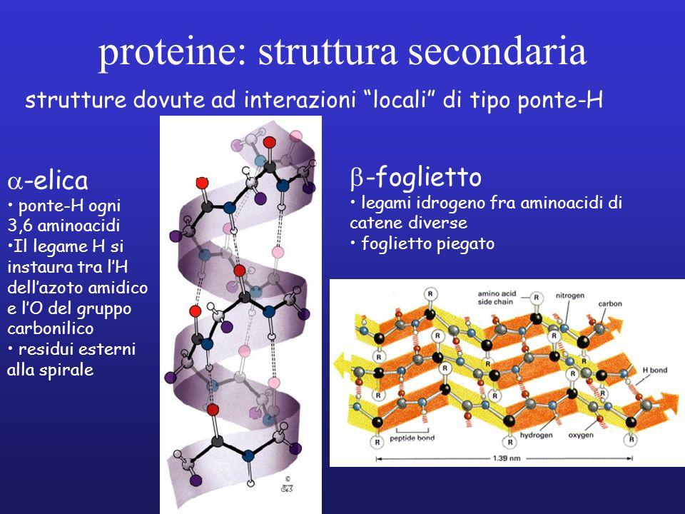 proteine: struttura secondaria strutture dovute ad interazioni locali di tipo ponte-H -elica ponte-H ogni 3,6 aminoacidi Il legame H si instaura tra l