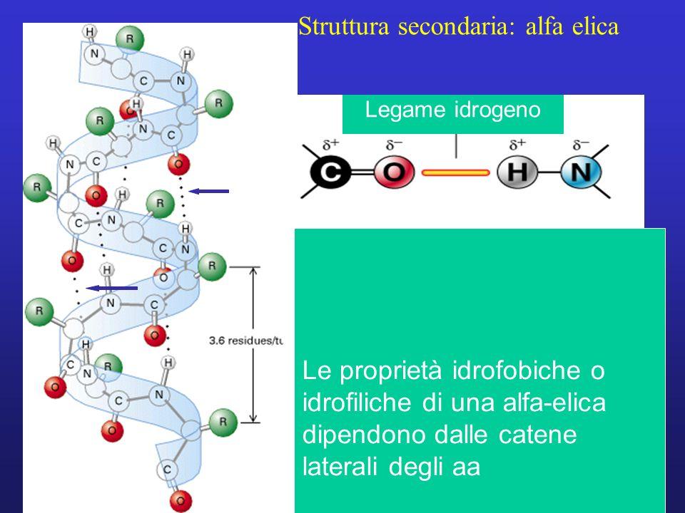 Struttura secondaria: alfa elica Le proprietà idrofobiche o idrofiliche di una alfa-elica dipendono dalle catene laterali degli aa Legame idrogeno