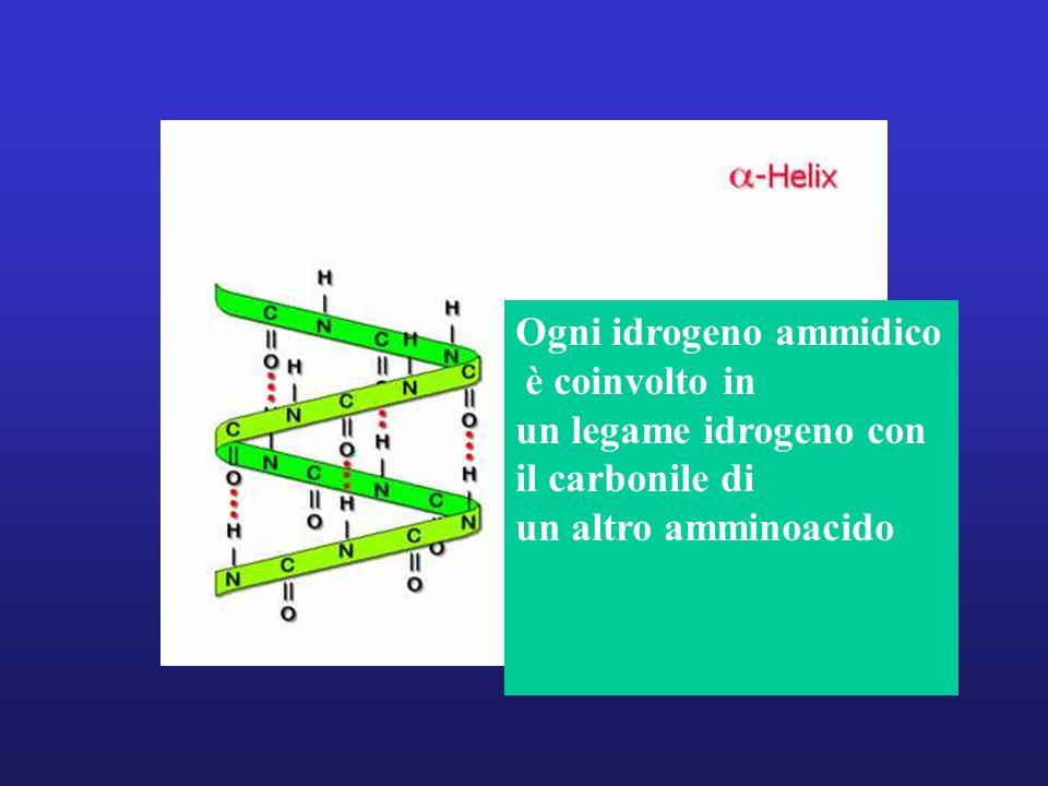 Ogni idrogeno ammidico è coinvolto in un legame idrogeno con il carbonile di un altro amminoacido