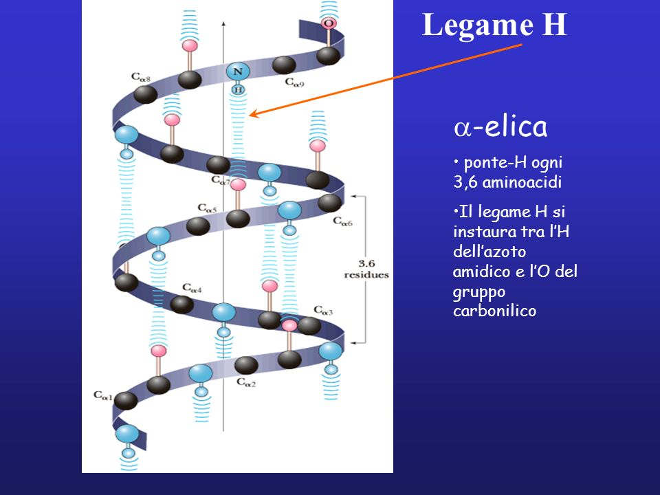 Legame H -elica ponte-H ogni 3,6 aminoacidi Il legame H si instaura tra lH dellazoto amidico e lO del gruppo carbonilico