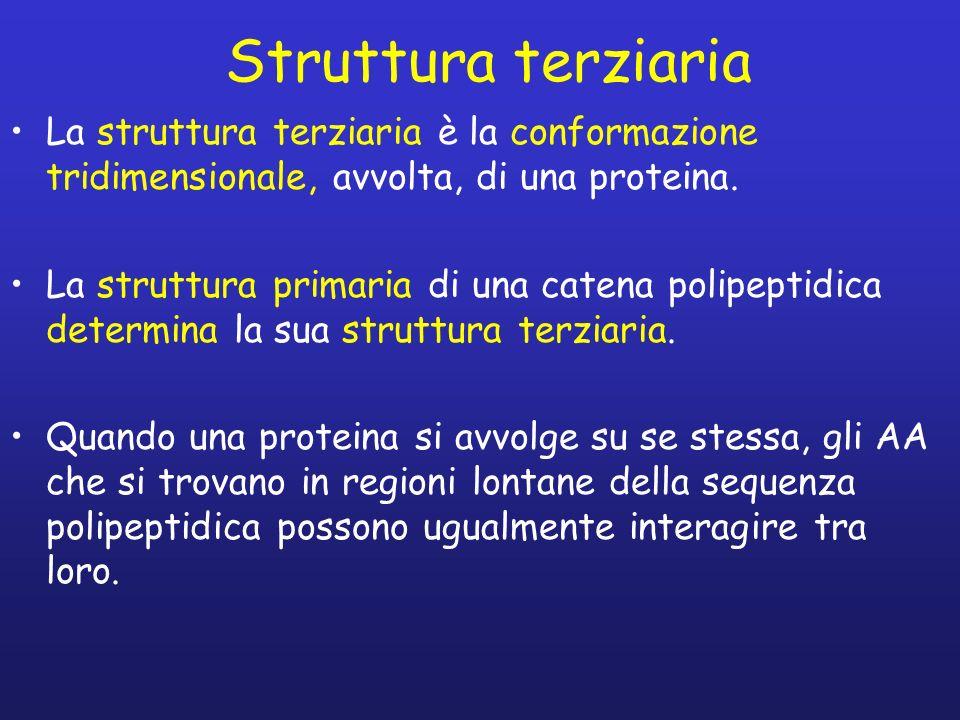 Struttura terziaria La struttura terziaria è la conformazione tridimensionale, avvolta, di una proteina. La struttura primaria di una catena polipepti
