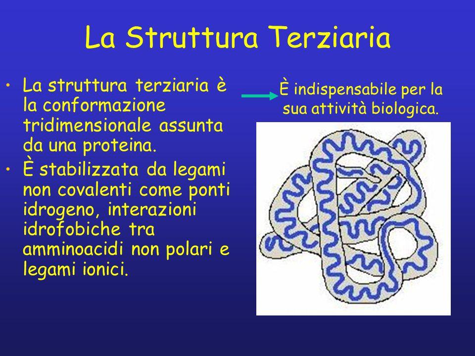 La Struttura Terziaria La struttura terziaria è la conformazione tridimensionale assunta da una proteina. È stabilizzata da legami non covalenti come
