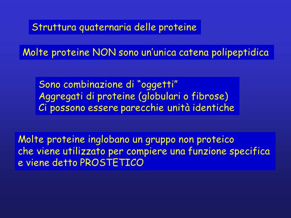 Struttura quaternaria delle proteine Molte proteine NON sono ununica catena polipeptidica Sono combinazione di oggetti Aggregati di proteine (globular