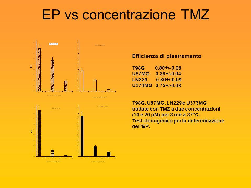 EP vs concentrazione TMZ Efficienza di piastramento T98G 0.80+/- 0.08 U87MG 0.38+/-0.04 LN229 0.86+/-0.09 U373MG 0.75+/-0.08 T98G, U87MG, LN229 e U373