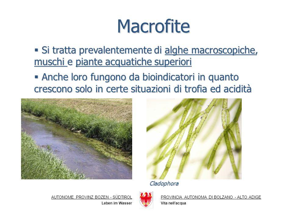 Macrofite Si tratta prevalentemente di alghe macroscopiche, muschi e piante acquatiche superiori Si tratta prevalentemente di alghe macroscopiche, muschi e piante acquatiche superiori Anche loro fungono da bioindicatori in quanto crescono solo in certe situazioni di trofia ed acidità Anche loro fungono da bioindicatori in quanto crescono solo in certe situazioni di trofia ed acidità AUTONOME PROVINZ BOZEN - SÜDTIROLPROVINCIA AUTONOMA DI BOLZANO - ALTO ADIGE Vita nellacqua Leben im Wasser Cladophora