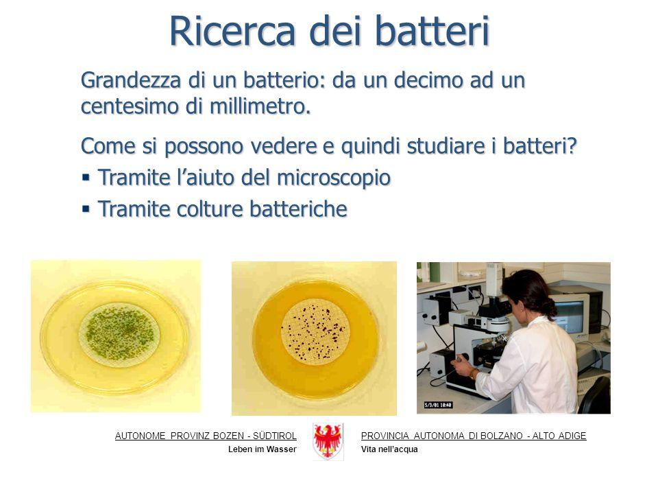 Ricerca dei batteri Grandezza di un batterio: da un decimo ad un centesimo di millimetro.