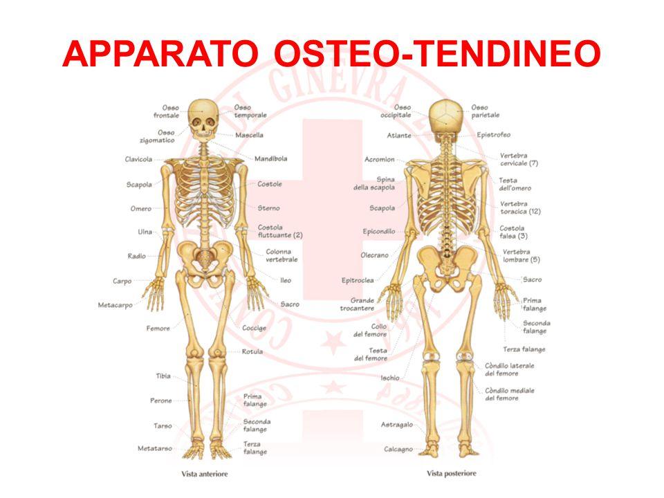 osteo sistema scheletrico, le ossa tendineo congiunzioni tra le ossa ed i muscoli, i tendini Garantisce allorganismo: sostegno: le ossa danno forma al corpo e gli consentono di mantenere la posizione eretta movimento: ossa, articolazioni e muscoli fanno muovere il corpo protezione: alcune ossa (cranio, rachide, coste e bacino) proteggono organi interni e tessuti