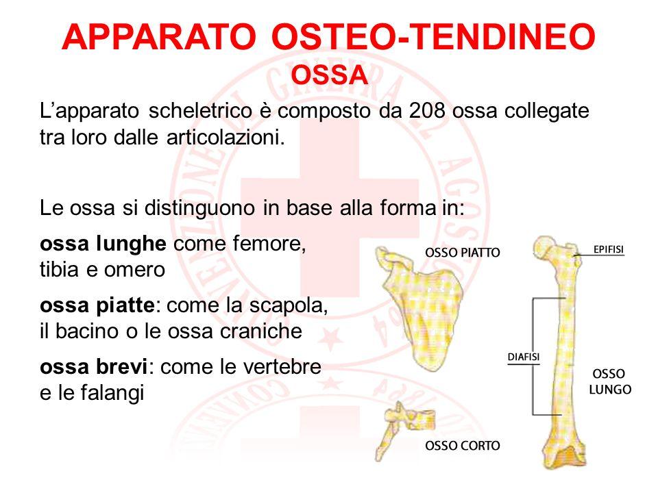 APPARATO OSTEO-TENDINEO ARTICOLAZIONI Le ossa si uniscono tra loro mediante le articolazioni: immobili o fisse non permettono alcun movimento (suture craniche) semimobili permettono movimenti modesti (intervertebrali) mobili permettono ampi movimenti (gomito, spalla, ginocchio)