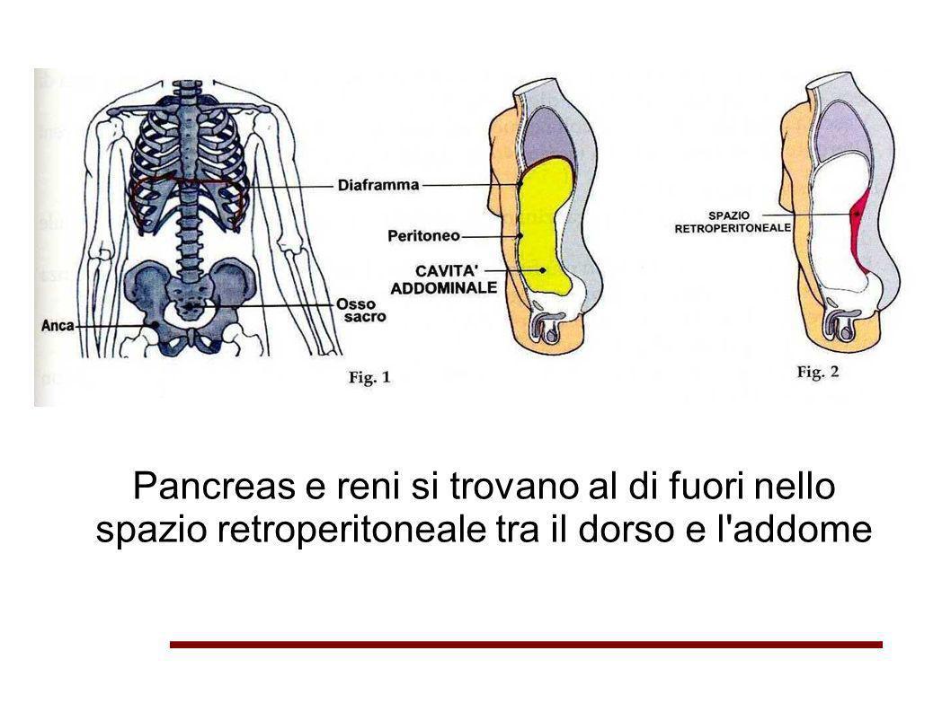 Pancreas e reni si trovano al di fuori nello spazio retroperitoneale tra il dorso e l'addome
