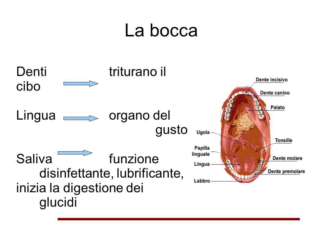 La bocca Denti triturano il cibo Lingua organo del gusto Saliva funzione disinfettante, lubrificante, inizia la digestione dei glucidi
