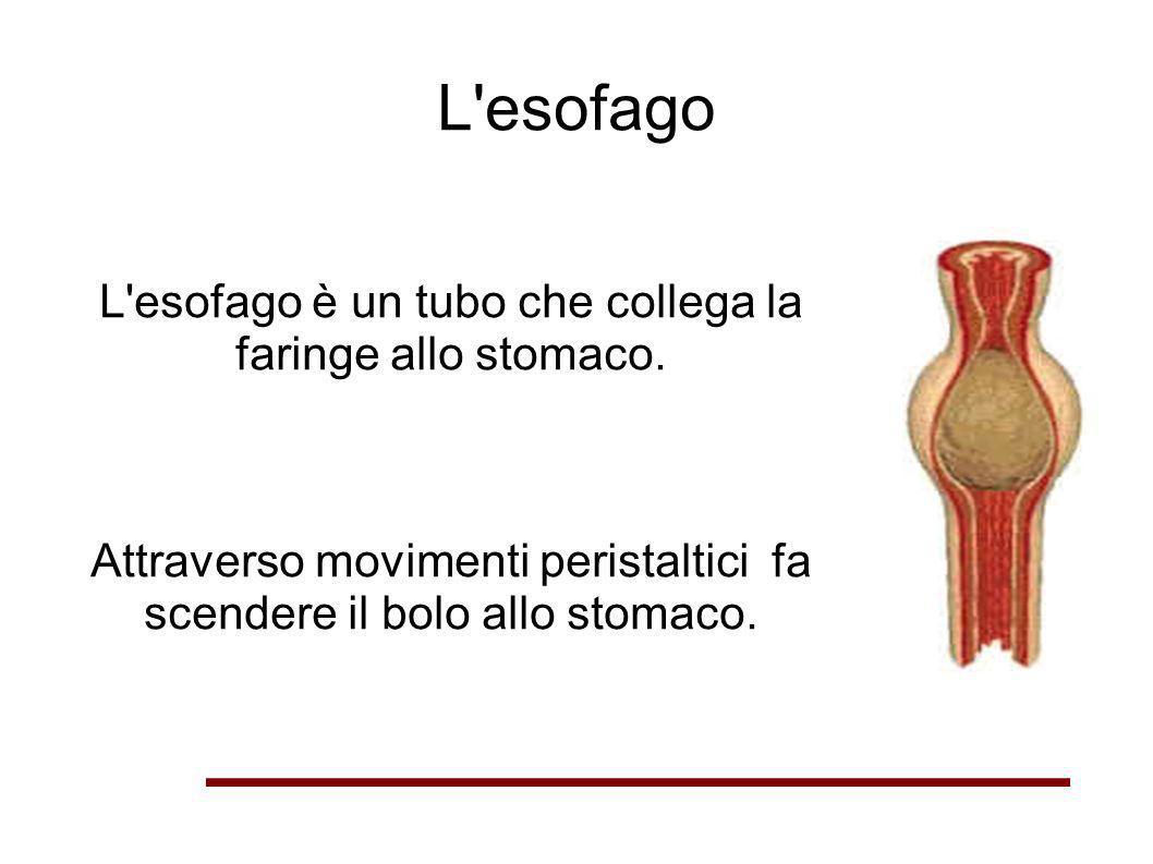 L'esofago L'esofago è un tubo che collega la faringe allo stomaco. Attraverso movimenti peristaltici fa scendere il bolo allo stomaco.
