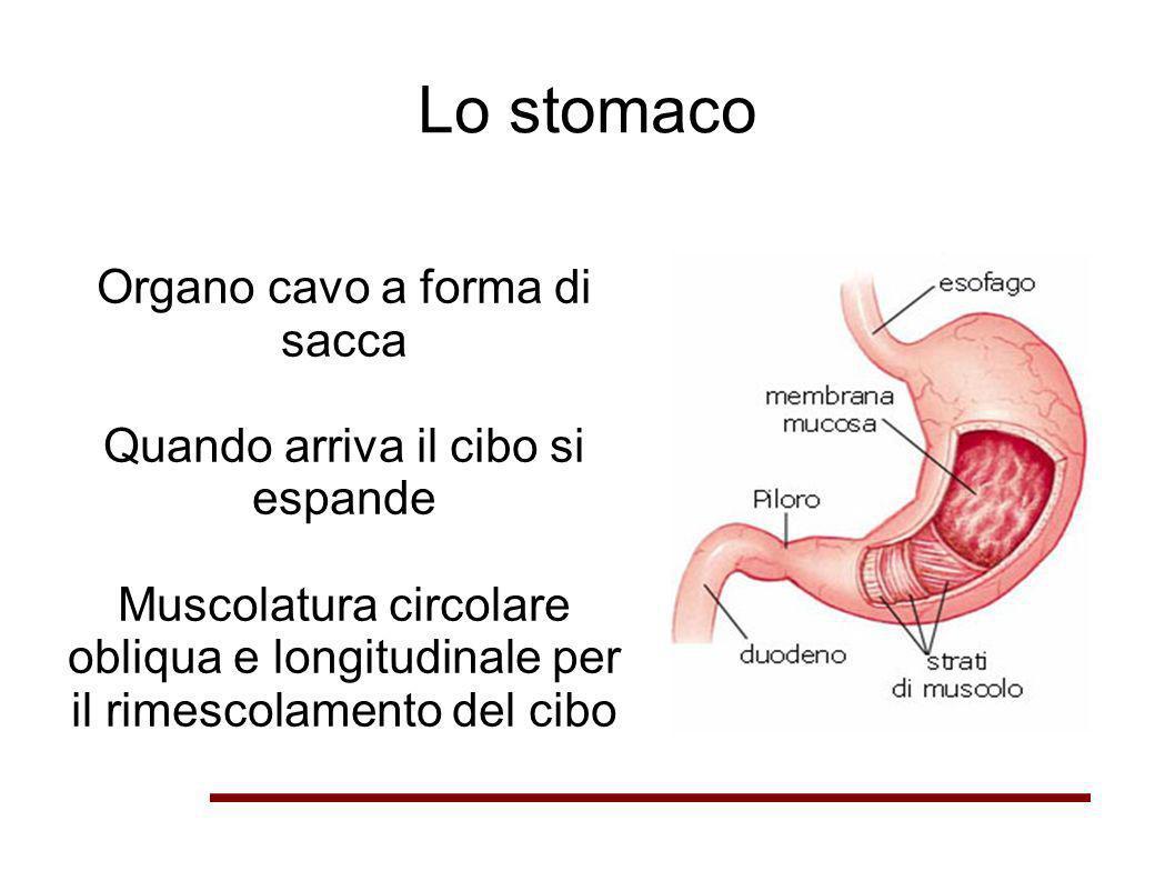 Lo stomaco Organo cavo a forma di sacca Quando arriva il cibo si espande Muscolatura circolare obliqua e longitudinale per il rimescolamento del cibo