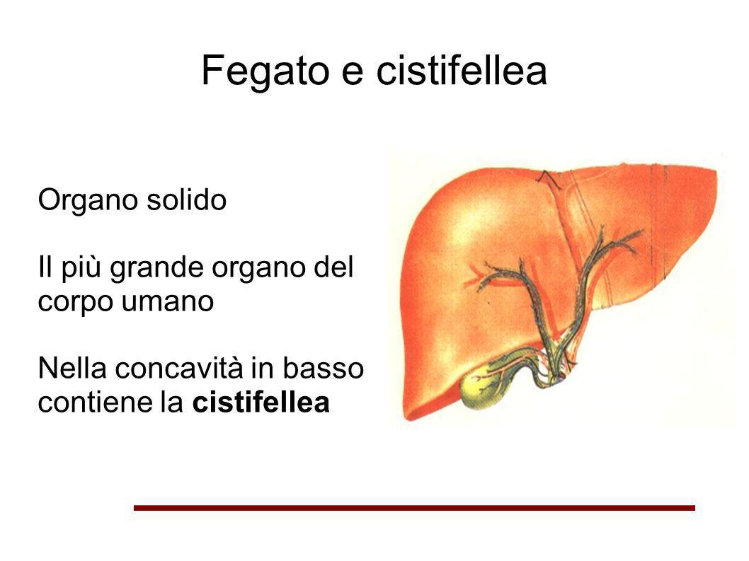 Fegato e cistifellea Organo solido Il più grande organo del corpo umano Nella concavità in basso contiene la cistifellea