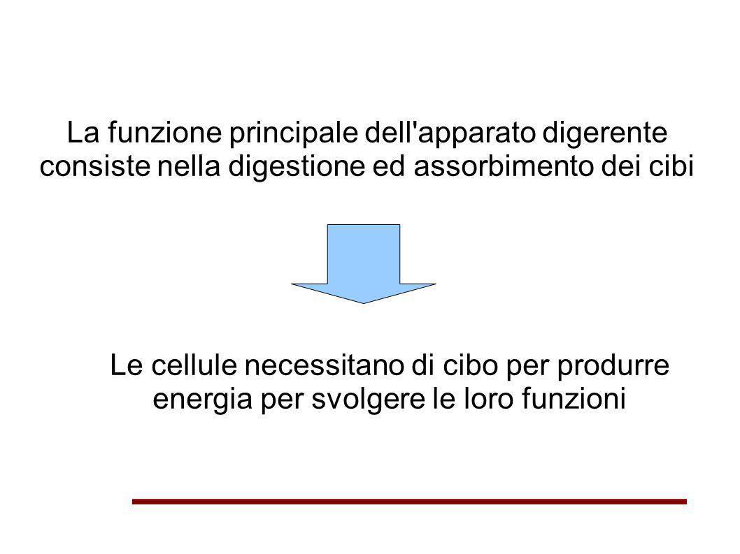 La funzione principale dell'apparato digerente consiste nella digestione ed assorbimento dei cibi Le cellule necessitano di cibo per produrre energia