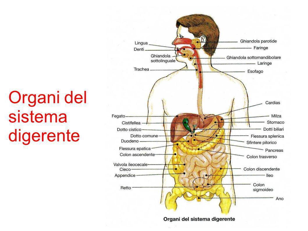 Intestino tenue Nel duodeno continua la digestione delle sostanze nutritive Al suo interno viene prodotto succo enterico che aiuta il completamento della digestione Nel digiuno e nell Ileo avviene l assorbimento dei nutrienti