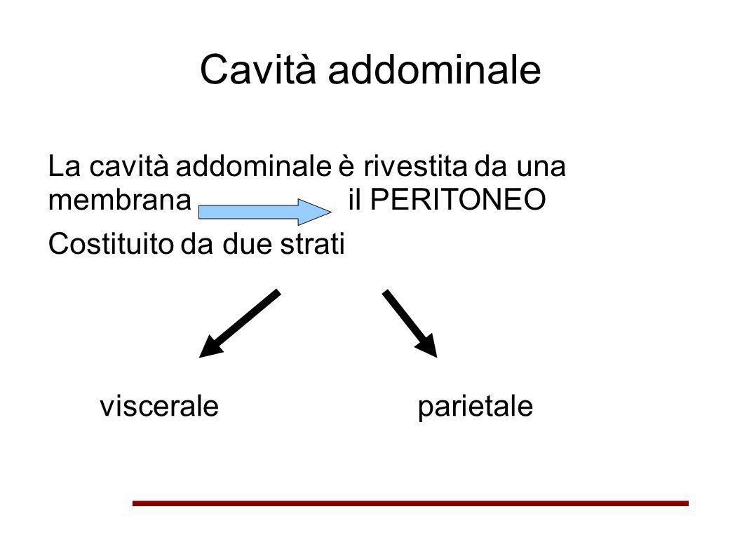 Cavità addominale La cavità addominale è rivestita da una membrana il PERITONEO Costituito da due strati visceraleparietale