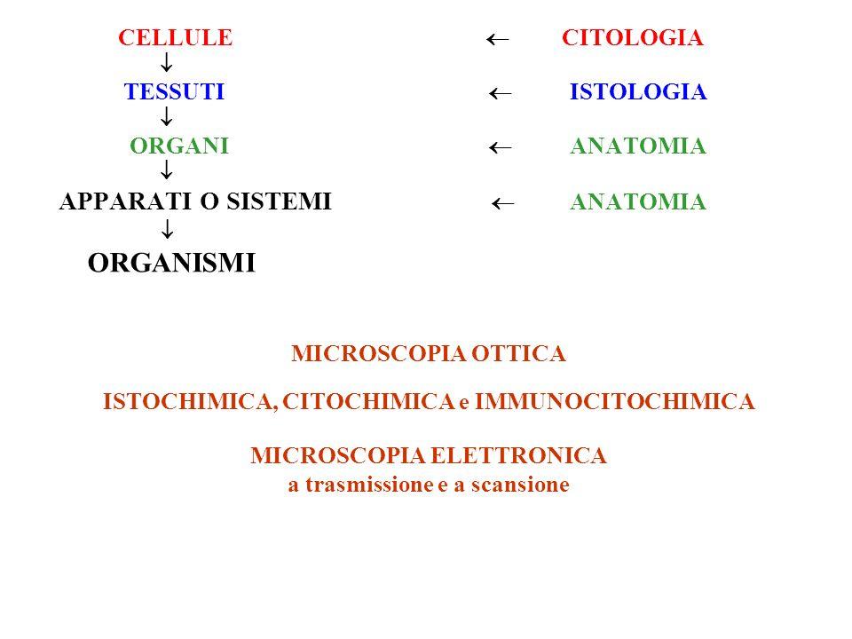 CITOLOGIA ISTOLOGIA EMBRIOLOGIA ANATOMIA ANATOMIA DESCRITTIVA ANATOMIA FUNZIONALE ANIMALI TECNICHE SETTORIE (gross anatomy) organi: SISTEMI (omogenei) APPARATI (organi diversi) ORGANI CAVI apparato digerente, apparato circolatorio… ORGANI PIENI Parenchima: organi parenchimatosi propriamente detti; organi fibrosi; organi linfoidi; organi del sistema nervoso centrale Stroma Capsula
