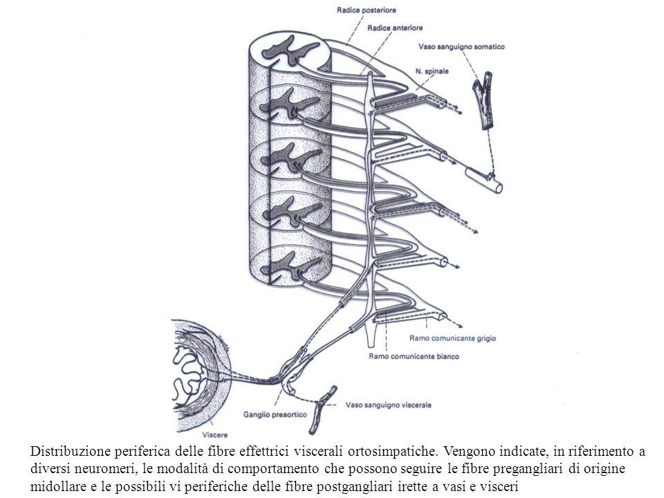 Distribuzione periferica delle fibre effettrici viscerali ortosimpatiche. Vengono indicate, in riferimento a diversi neuromeri, le modalità di comport