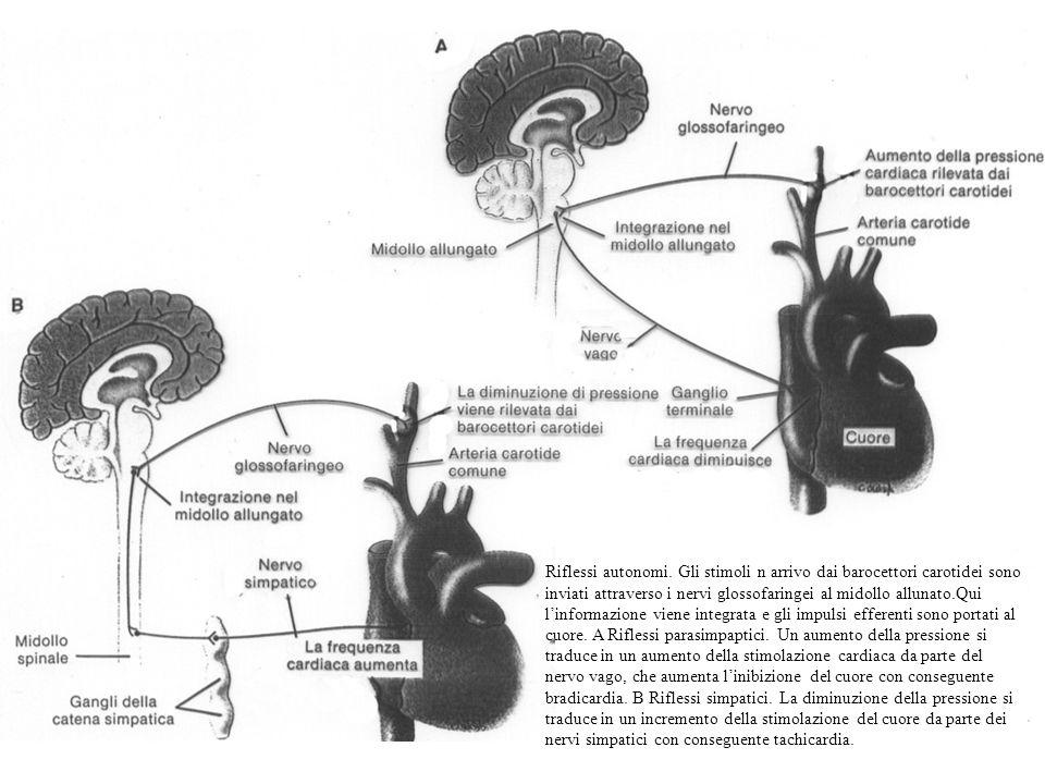 Riflessi autonomi. Gli stimoli n arrivo dai barocettori carotidei sono inviati attraverso i nervi glossofaringei al midollo allunato.Qui linformazione