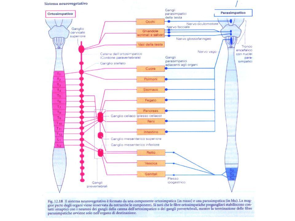 Confronto tra le strutture simpatiche e parasimpatiche CARATTERISTICHE SEZIONE SIMPATICA SEZIONE PARASIMPATICA Localizzazione dei corpi cellulari dei neuroni preganliari Sostanza grigia delle corna laterali del midollo spinale (T1-L2) Tronco cerebrale e sostanza grigia delle corna laterali del midollo spinale (S2-S4) Vie duscita del SNC Nervi spinali Nervi simpatici Nervi splacnici Nervi cranici Nervi pelvici Gangli Gangli della catena simpatica lungo il midollo spinale per i nervi spinali e simpatici; gangli collaterali per i nervi splacnici Gangli terminali in prossimità o allinterno degli organi effettori Numero dei neuroni postgangliari per ogni neurone pregangliare Elevato Scarso Lunghezza relativa degli assoni Corti i pregangliari, lunghi i postgangliari Lunghi i pregangliari, corti i postgangliari