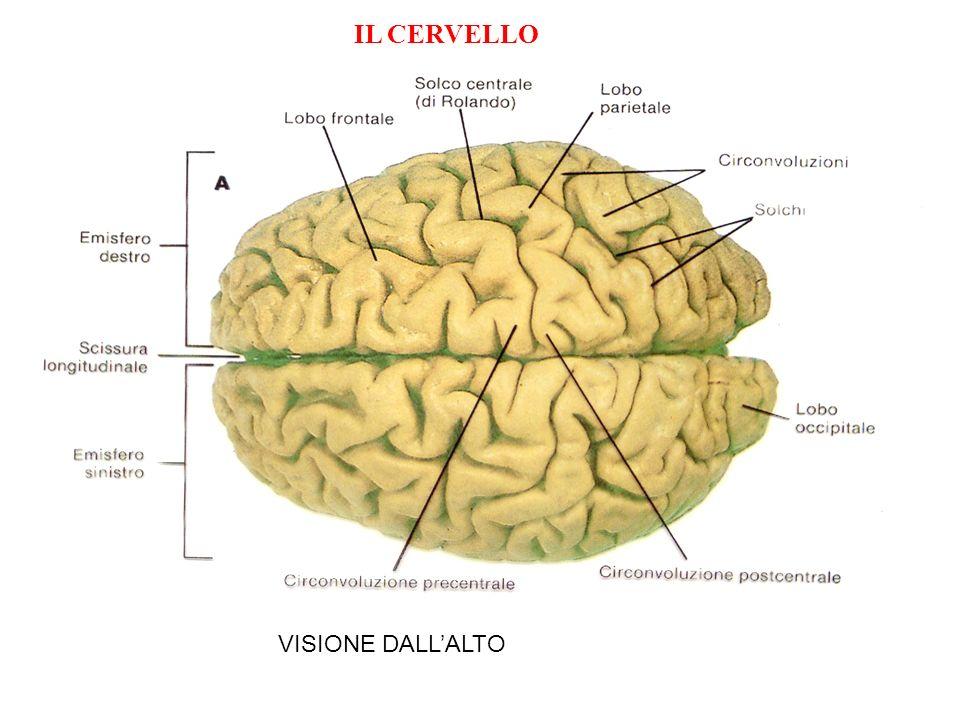 VISIONE DALLALTO IL CERVELLO