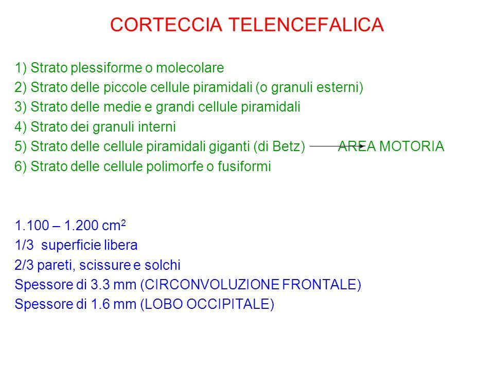 CORTECCIA TELENCEFALICA 1) Strato plessiforme o molecolare 2) Strato delle piccole cellule piramidali (o granuli esterni) 3) Strato delle medie e gran
