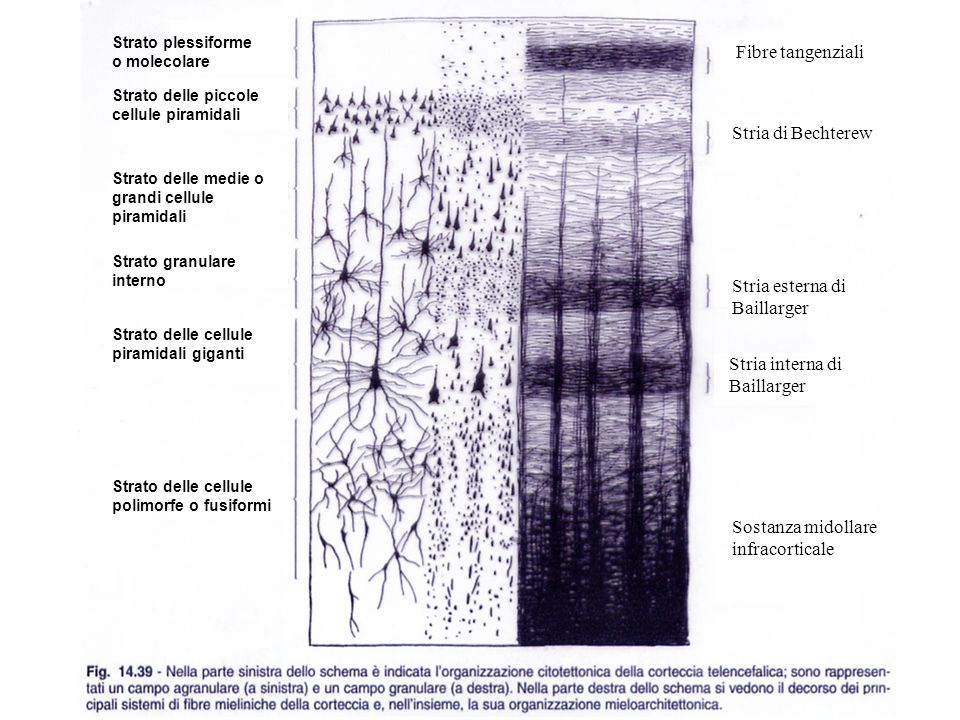 Strato plessiforme o molecolare Strato delle piccole cellule piramidali Strato delle medie o grandi cellule piramidali Strato granulare interno Strato
