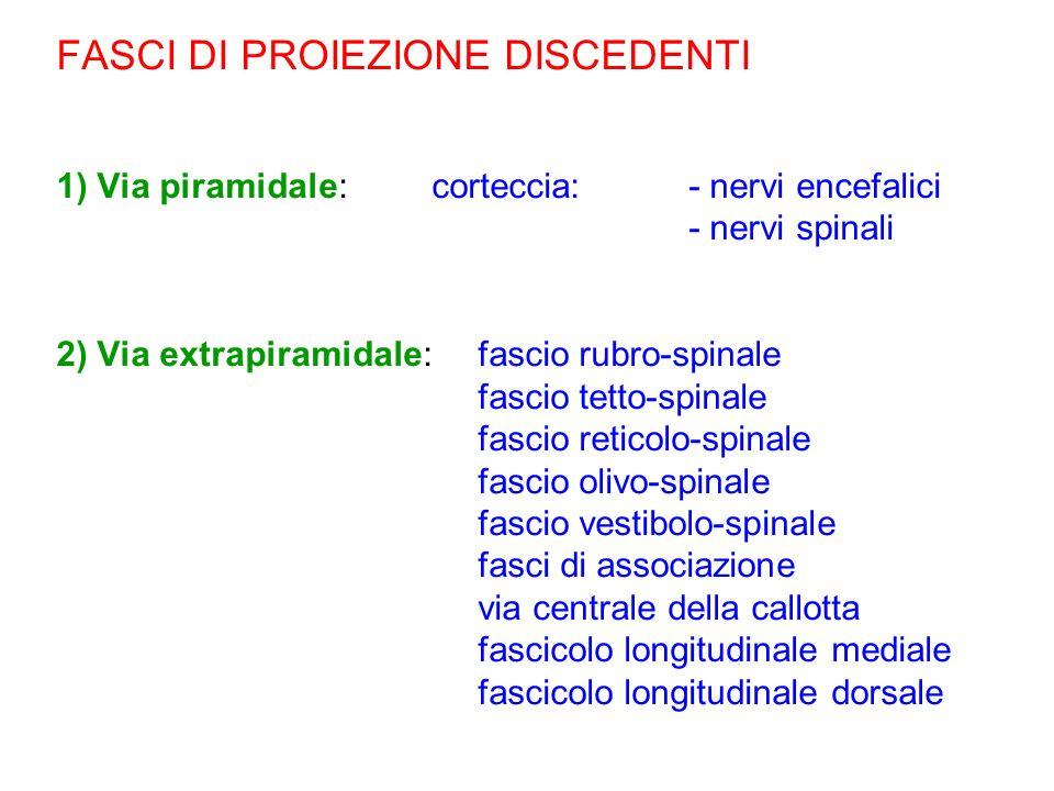 FASCI DI PROIEZIONE DISCEDENTI 1) Via piramidale: corteccia: - nervi encefalici - nervi spinali 2) Via extrapiramidale: fascio rubro-spinale fascio te