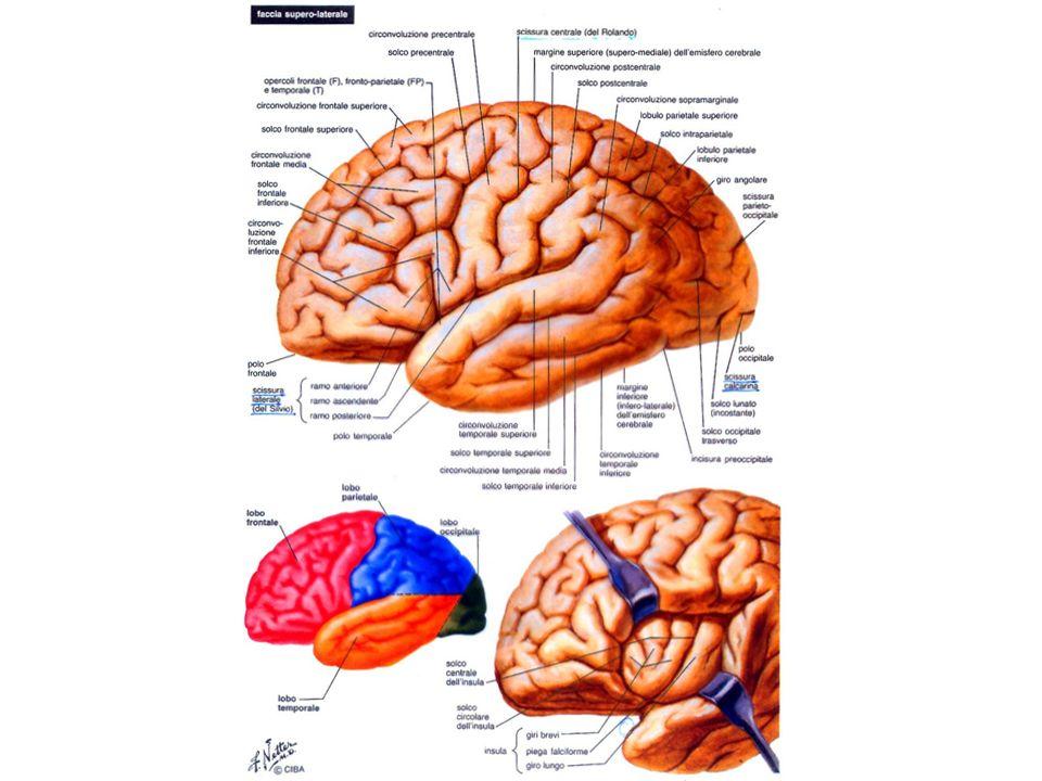FORMAZIONI COMMISSURALI DEL TELENCEFALO Strutture impari e mediane che svolgono funzioni associative tra i 2 emisferi CORPO CALLOSO FORNICE COMMESSURA ANTERIORE SETTO PELLUCIDO SISTEMA DELLE CAPSULE CAPSULA INTERNA } Sostanza bianca CAPSULA ESTERNA NUCLEI DEL TELENCEFALO (Sostanza grigia) AMIGDALA antica sistema limbico CLAUSTRO CLAUSTRO STRIATO - nucleo lenticolare: putamen nucleo pallido - nucleo caudato