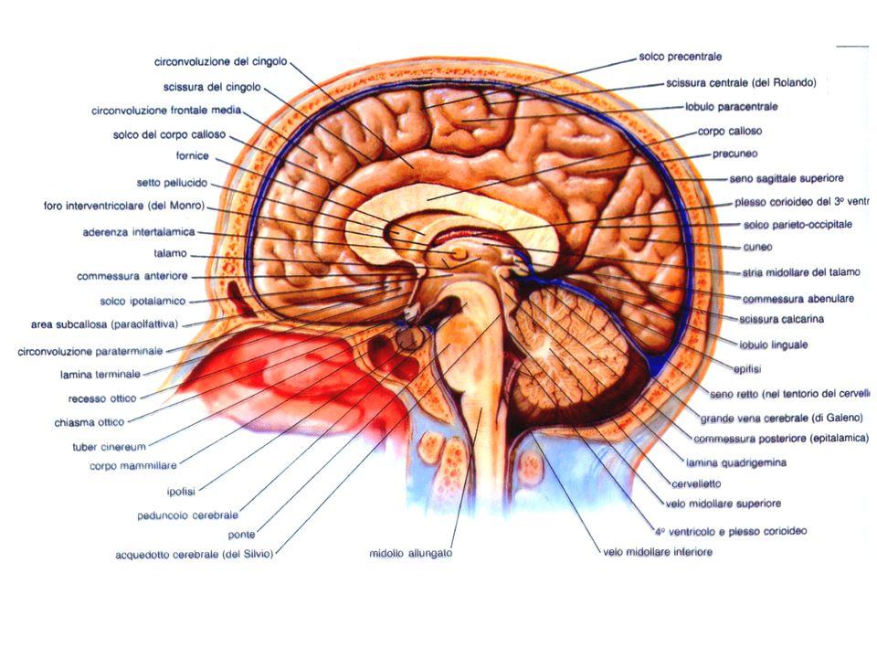 FASCI DI PROIEZIONE DISCEDENTI 1) Via piramidale: corteccia: - nervi encefalici - nervi spinali 2) Via extrapiramidale: fascio rubro-spinale fascio tetto-spinale fascio reticolo-spinale fascio olivo-spinale fascio vestibolo-spinale fasci di associazione via centrale della callotta fascicolo longitudinale mediale fascicolo longitudinale dorsale