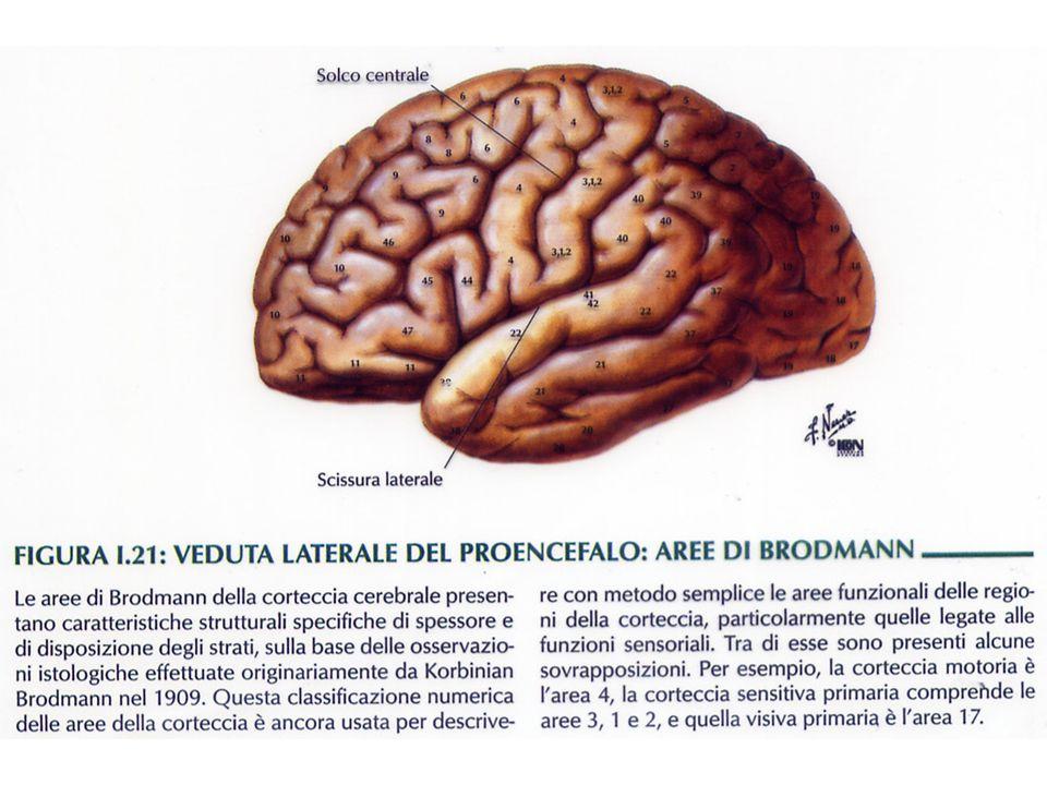 DIVISIONE E FUNZIONI DEL SISTEMA NERVOSO CENTRALE REGIONIFUNZIONI Tronco encefalicoConnette il midollo spinale con lencefalo; ha innumerevoli funzioni (vedi sotto); vi sono localizzati i nervi cranici Midollo allungatoVia di passaggio dei tratti nervosi ascendenti e discendenti; centro di innumerevoli riflessi (per esempio ritmo cardiaco, respirazione, salivazione e vomito) PonteContiene tratti nervosi ascendenti e discendenti; integra il cervello al cervelletto; contiene i centri per i riflessi MesencefaloContiene tratti nervosi ascendenti e discendenti; i centri dei riflessi visivi; parte delle vie uditive Formazione reticolare Sparsa lungo il tronco cerebrale; controlla attività circadiane come il ritmo sonno-veglia
