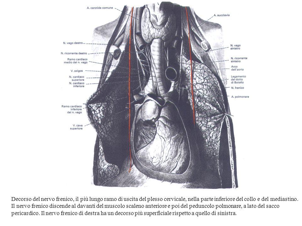 Decorso del nervo frenico, il più lungo ramo di uscita del plesso cervicale, nella parte inferiore del collo e del mediastino. Il nervo frenico discen