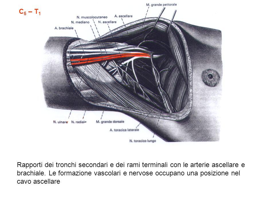 C 5 – T 1 Rapporti dei tronchi secondari e dei rami terminali con le arterie ascellare e brachiale. Le formazione vascolari e nervose occupano una pos