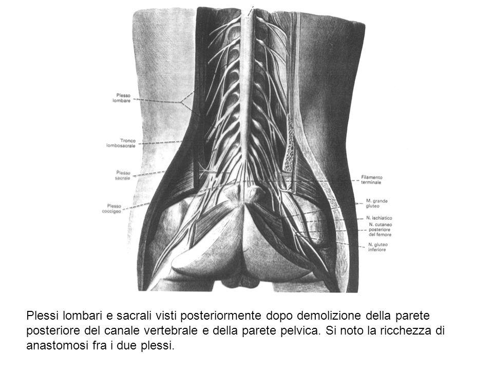 Plessi lombari e sacrali visti posteriormente dopo demolizione della parete posteriore del canale vertebrale e della parete pelvica. Si noto la ricche