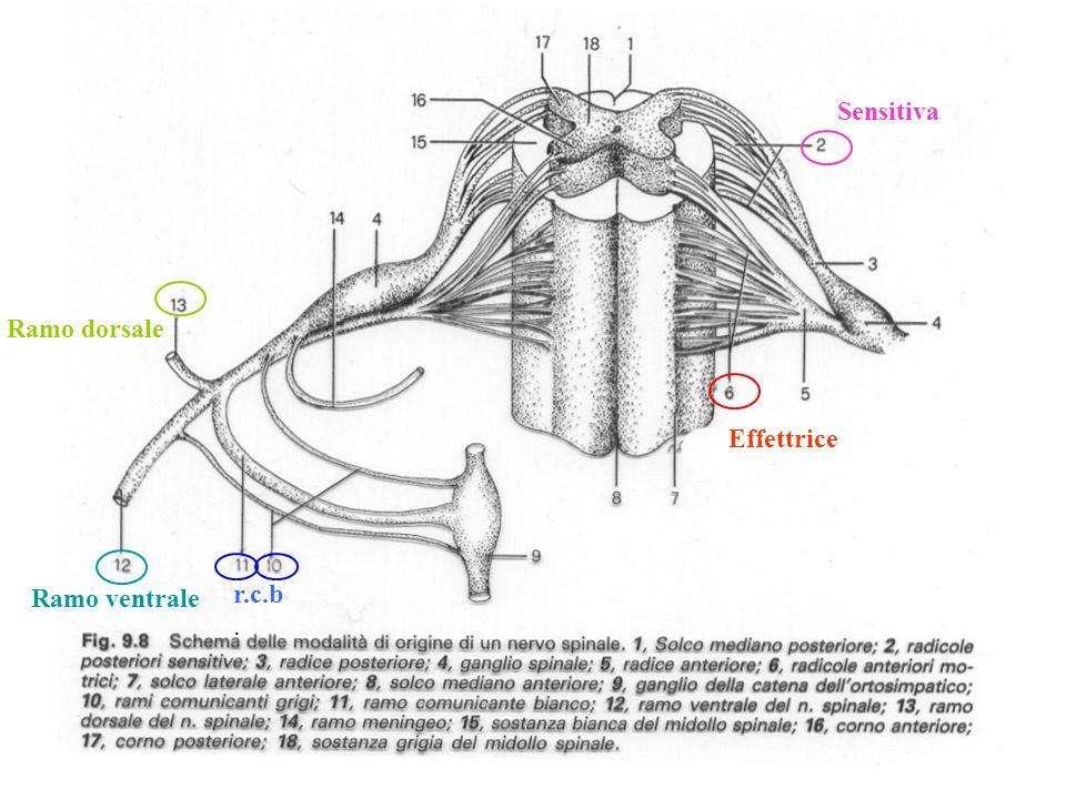 NERVI SPINALI: 31 paia, tutti misti Motilità somatica e viscerale Sensibilità somatica e vIscerale 8 CERVICALI 12 TORACICI 5 LOMBARI 5 SACRALI 1 COCCIGEO Rami dorsali metamerici Rami ventrali Plessi (anastomosi) PLESSO CERVICALE, PLESSO BRACHIALE, PLESSO LOMBO-SACRALE, PLESSO PUDENDO, PLESSO COCCIGEO