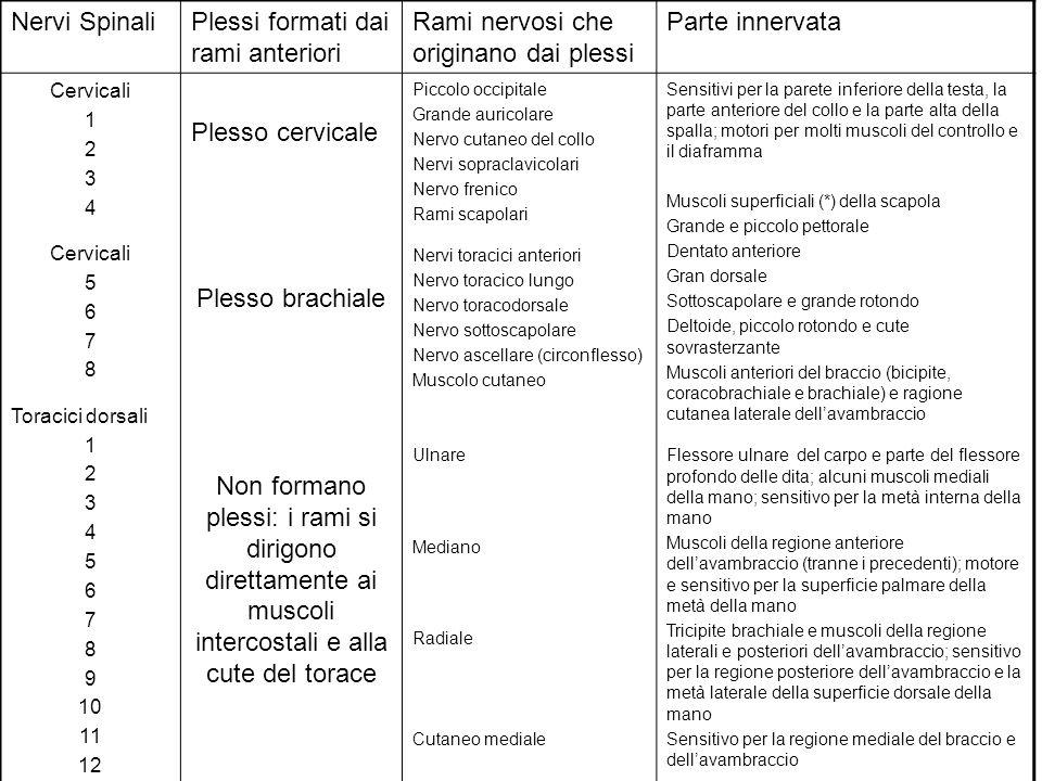 Nervi SpinaliPlessi formati dai rami anteriori Rami nervosi che originano dai plessi Parte innervata Cervicali 1 2 3 4 Cervicali 5 6 7 8 Toracici dors