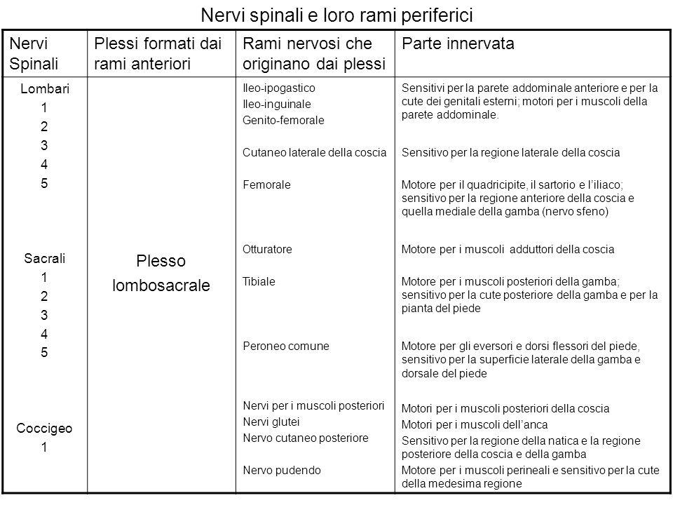 Nervi spinali e loro rami periferici Nervi Spinali Plessi formati dai rami anteriori Rami nervosi che originano dai plessi Parte innervata Lombari 1 2