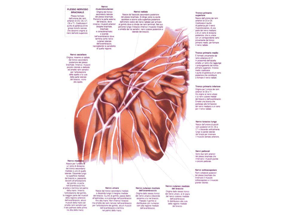 Nervi SpinaliPlessi formati dai rami anteriori Rami nervosi che originano dai plessi Parte innervata Cervicali 1 2 3 4 Cervicali 5 6 7 8 Toracici dorsali 1 2 3 4 5 6 7 8 9 10 11 12 Plesso cervicale Plesso brachiale Non formano plessi: i rami si dirigono direttamente ai muscoli intercostali e alla cute del torace Piccolo occipitale Grande auricolare Nervo cutaneo del collo Nervi sopraclavicolari Nervo frenico Rami scapolari Nervi toracici anteriori Nervo toracico lungo Nervo toracodorsale Nervo sottoscapolare Nervo ascellare (circonflesso) Muscolo cutaneo Ulnare Mediano Radiale Cutaneo mediale Sensitivi per la parete inferiore della testa, la parte anteriore del collo e la parte alta della spalla; motori per molti muscoli del controllo e il diaframma Muscoli superficiali (*) della scapola Grande e piccolo pettorale Dentato anteriore Gran dorsale Sottoscapolare e grande rotondo Deltoide, piccolo rotondo e cute sovrasterzante Muscoli anteriori del braccio (bicipite, coracobrachiale e brachiale) e ragione cutanea laterale dellavambraccio Flessore ulnare del carpo e parte del flessore profondo delle dita; alcuni muscoli mediali della mano; sensitivo per la metà interna della mano Muscoli della regione anteriore dellavambraccio (tranne i precedenti); motore e sensitivo per la superficie palmare della metà della mano Tricipite brachiale e muscoli della regione laterali e posteriori dellavambraccio; sensitivo per la regione posteriore dellavambraccio e la metà laterale della superficie dorsale della mano Sensitivo per la regione mediale del braccio e dellavambraccio
