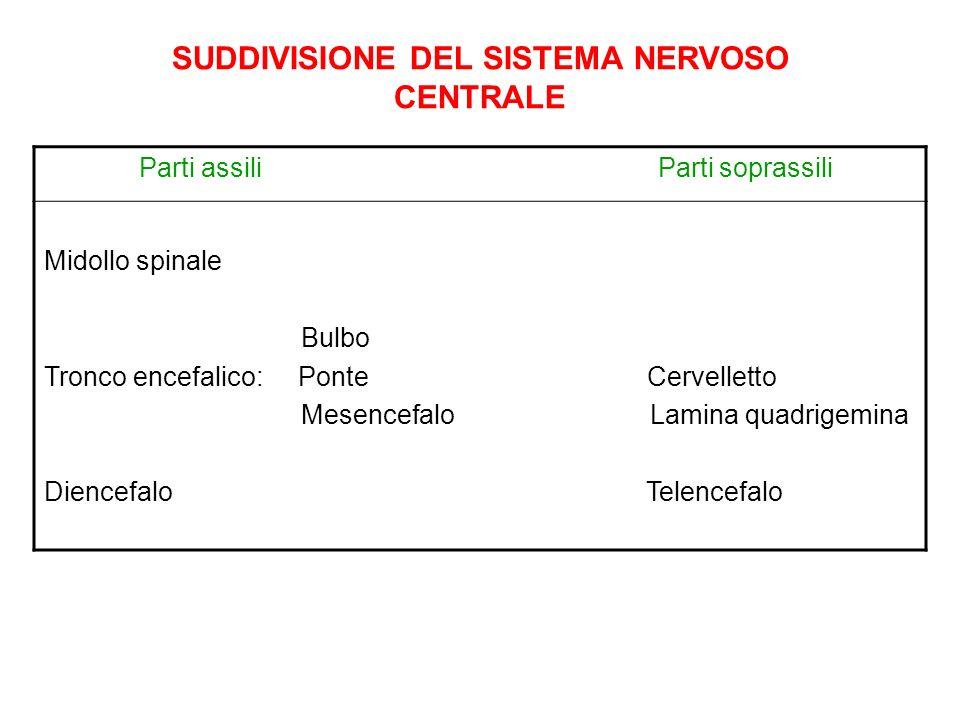 SUDDIVISIONE DEL SISTEMA NERVOSO CENTRALE Parti assili Parti soprassili Midollo spinale Bulbo Tronco encefalico: Ponte Cervelletto Mesencefalo Lamina
